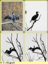 Cormoran_commun_-_Phalacrocorax_carbo_-_Etangs_de_Commelles_-_IMG_0018_-_A.jpg