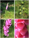 Digitale_pourpre_-_Digitalis_purpurea_-_D04_-_Sortie_156_-_Ndeg0025_-_A.jpg