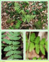 Dryopteris_des_Chartreux_-_Dryopteris_carthusiana__-_D10_-_Sortie_127_-_IMG_0114_-_A.jpg