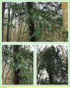 If_commun_-_Taxus_baccata_-_T1_-_Sortie_127_-_IMG_0050_-_A.jpg
