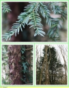 If_commun_-_Taxus_baccata_-_T1_-_Sortie_127_-_IMG_0054_-_A.jpg