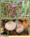 Laccaire_amethyste_-_Laccaria_amethystina_-_L1_-_Sortie_122_-_IMG_0012_-_A.jpg