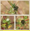 Ndeg_05_-_Armoise_champetre_-_Artemisia_campestris_-_Sa_gale_-_IMG_0032_-_1_-_Sortie_101_-_A20.JPG